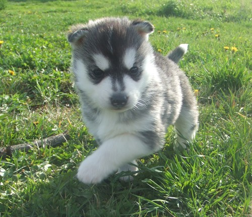 Siberian Husky Puppies for sale  PA Siberian Husky breeder