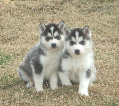 siberian husky puppies for sale siberian husky adults for sale our ...
